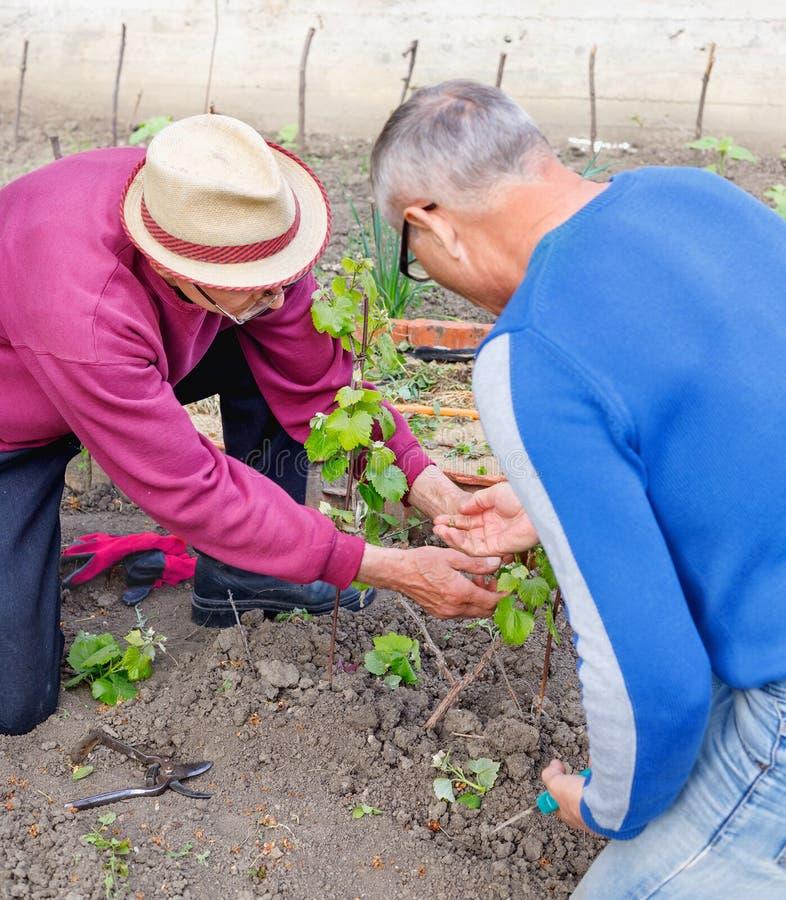 L'agricoltore anziano mostra un altro giardiniere adulto che si preoccupa per il giovane cespuglio dell'uva fotografia stock