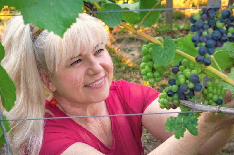L'agricoltore felice raccoglie il raccolto dell'uva immagine stock