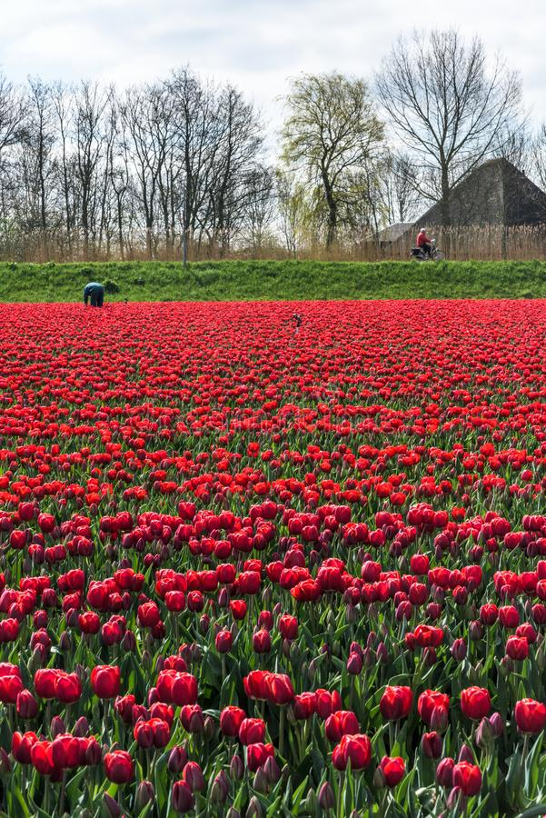 L'agricoltore lavora nel suo campo del tulipano in Frisia ad ovest, Paesi Bassi fotografia stock
