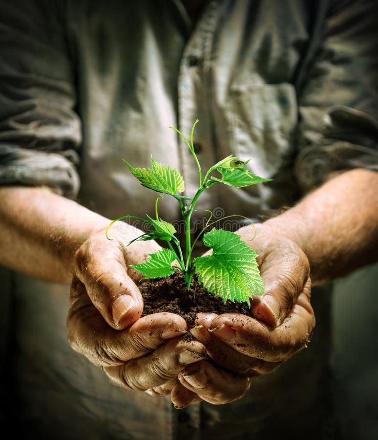 L'agricoltore passa la tenuta della plantula verde immagine stock