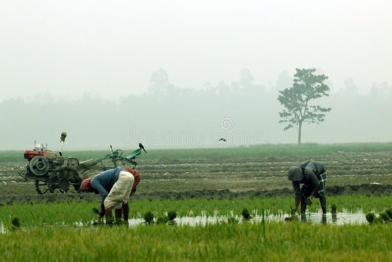 L'agricoltore pianta la responsabilità della risaia dentro immagini stock libere da diritti