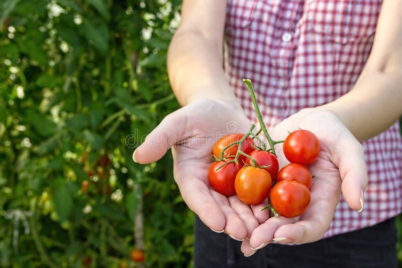 L'agricoltore raccoglie i pomodori ciliegia nella serra immagine stock