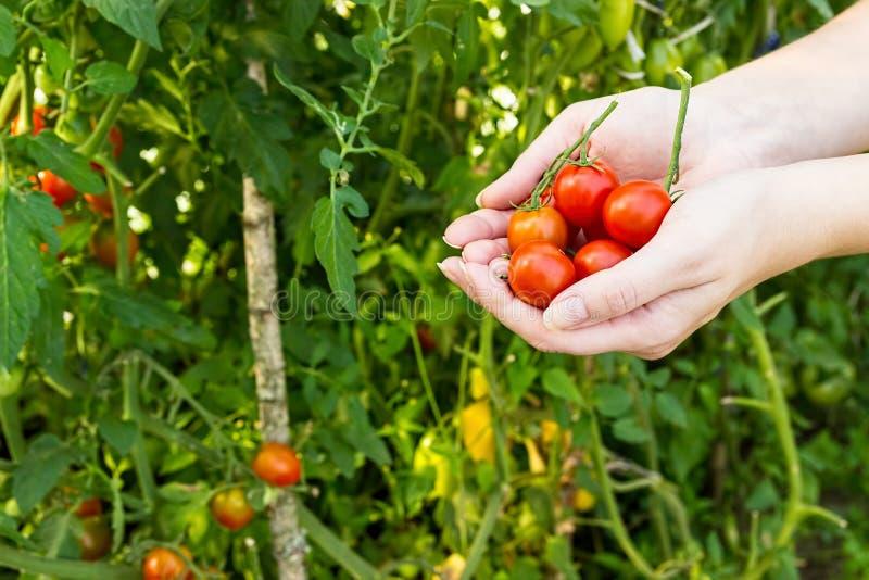 L'agricoltore raccoglie i pomodori ciliegia nella serra fotografia stock libera da diritti