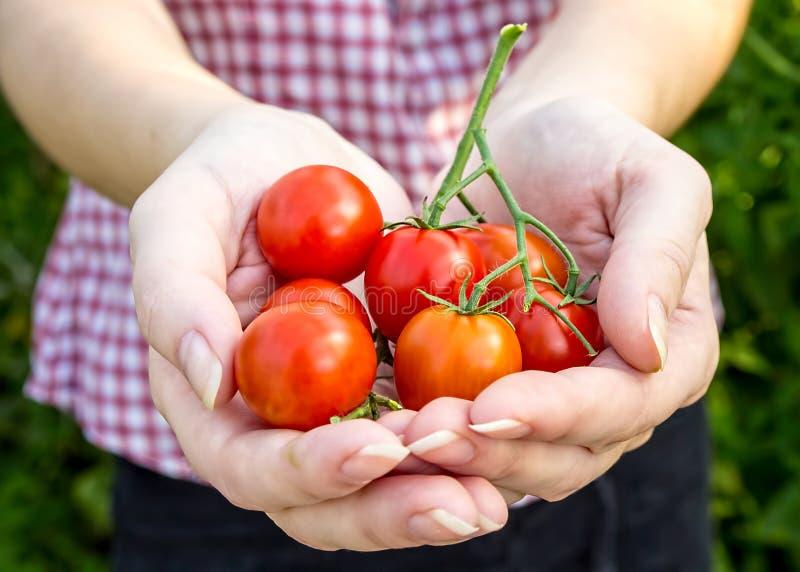 L'agricoltore raccoglie i pomodori ciliegia nella serra fotografia stock