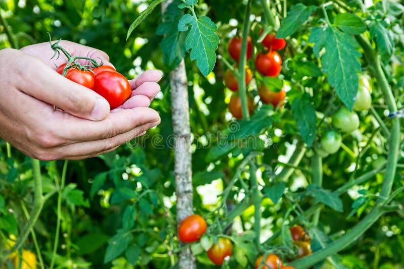 L'agricoltore raccoglie i pomodori ciliegia nella serra immagine stock libera da diritti