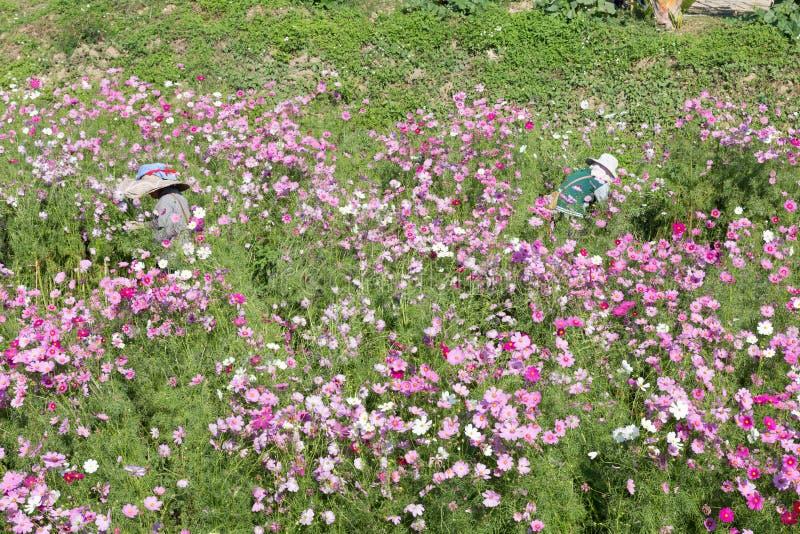 l'agricoltore seleziona il fiore su di fioritura dell'universo a Muang Gan Winter Festiv immagine stock