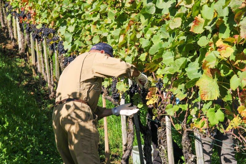 L'agricoltore sta raccogliendo l'uva immagine stock