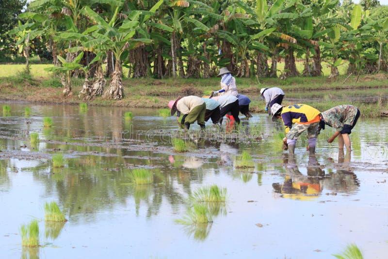 L'agricoltore tailandese coltiva il riso fotografia stock libera da diritti