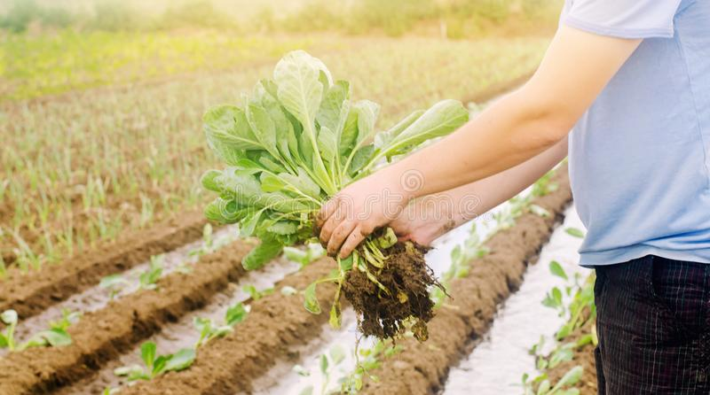 L'agricoltore tiene le giovani piantine del cavolo a disposizione Verdure organiche crescenti Prodotti ecologici Agricoltura e co fotografia stock libera da diritti