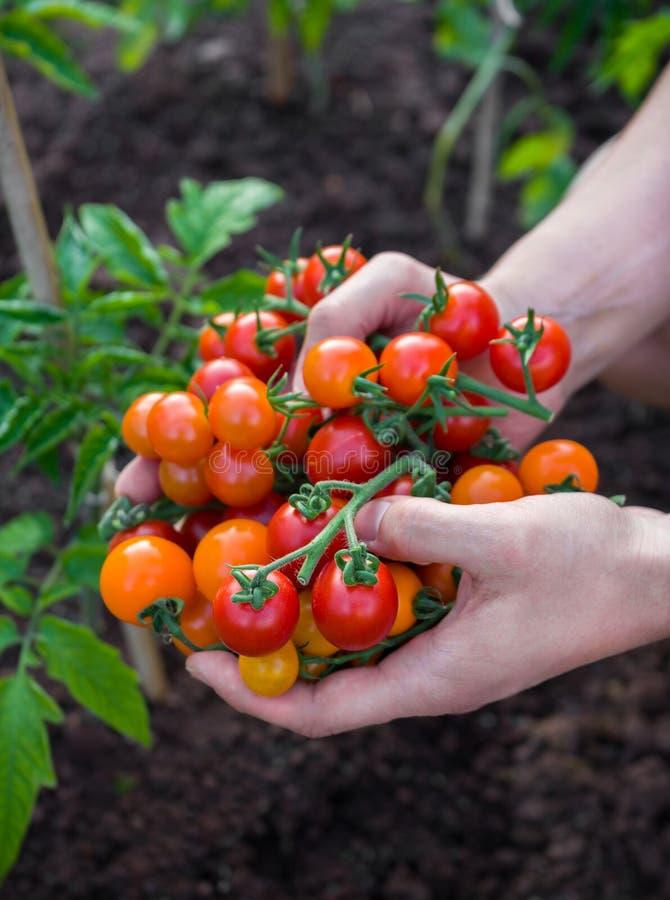 L'agricoltore, uomo che tiene a disposizione ha selezionato di recente i pomodori arancio e rossi della ciliegia fotografia stock libera da diritti