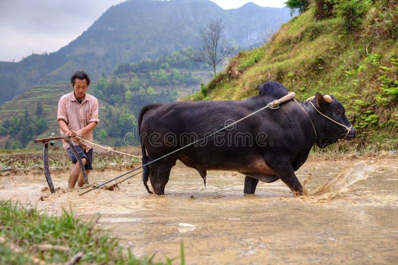 L'agriculteur chinois cultive le gisement de riz, son taureau tirant une charrue images libres de droits