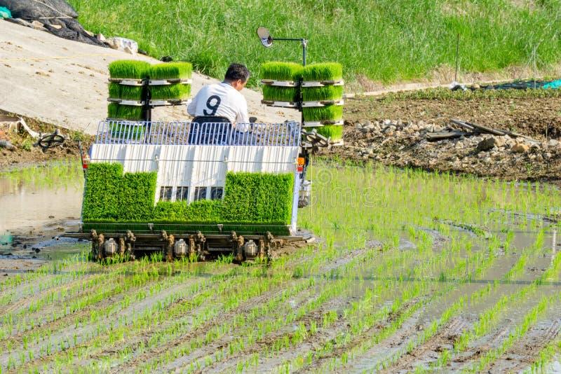 L'agriculteur coréen monte le type transplantoir actionné par l'électricité d'équitation de riz à la jeune plante le jeune riz ve photo libre de droits