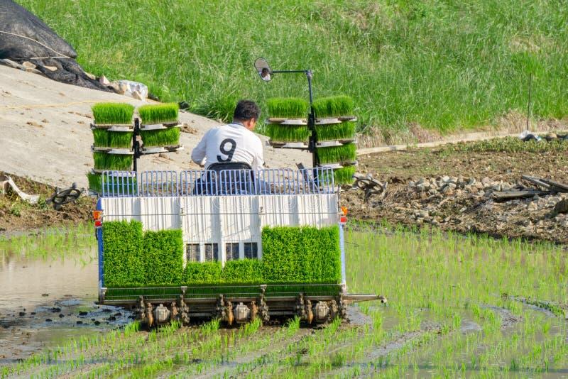 L'agriculteur coréen monte le type transplantoir actionné par l'électricité d'équitation de riz à la jeune plante le jeune riz ve photos libres de droits