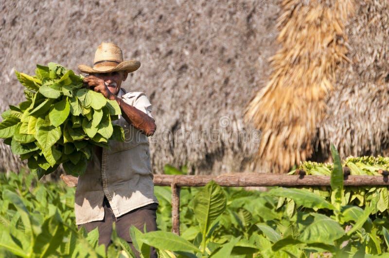 L'agriculteur cubain montre la récolte du champ de tabac image libre de droits