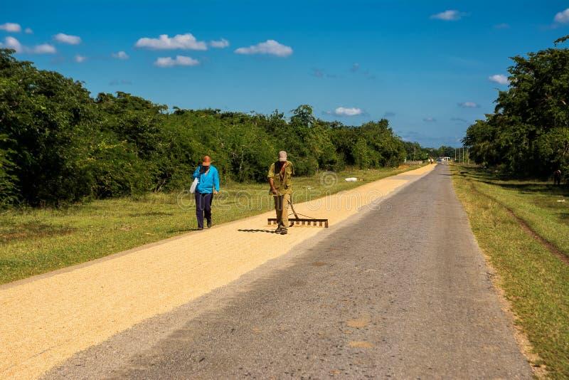 L'agriculteur cubain soulève le riz pour le sécher sur la route image libre de droits