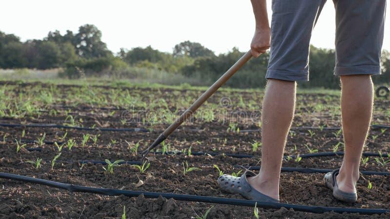 L'agriculteur enlève des mauvaises herbes par la houe dans le domaine de maïs avec la jeune croissance à la ferme organique d'eco photo libre de droits