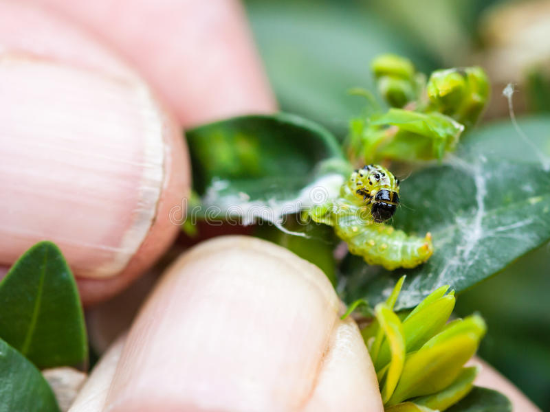 L'agriculteur enlève la chenille du parasite d'insecte photos libres de droits