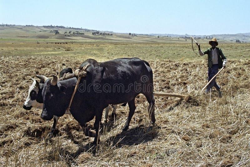 L'agriculteur est avec la charrue et les boeufs labourant le champ photographie stock libre de droits