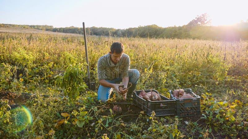L'agriculteur moissonnant et met la patate douce dans la boîte au champ de sa ferme photographie stock libre de droits
