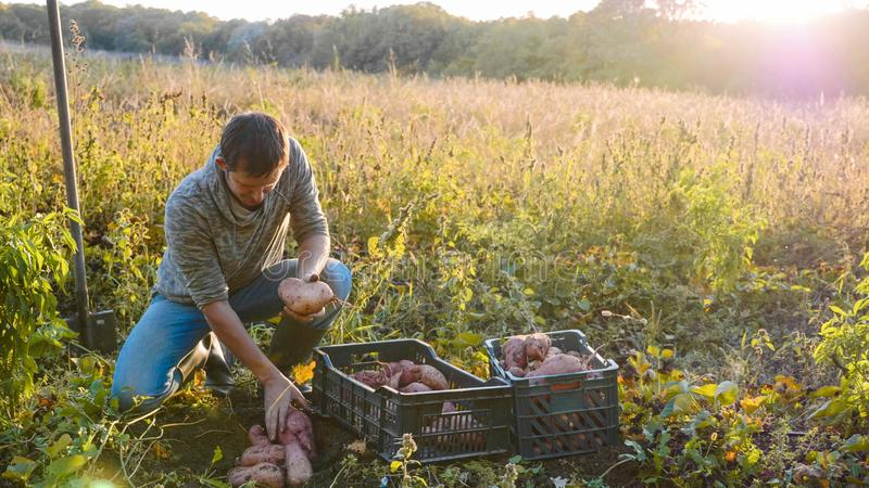 L'agriculteur moissonnant et met la patate douce dans la boîte au champ de sa ferme images stock