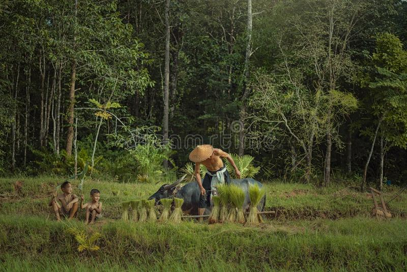 L'agriculteur thaïlandais plante le riz dans les domaines contre pleuvoir le vert photo stock