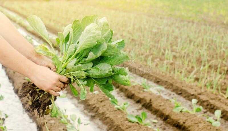 L'agriculteur tient de jeunes jeunes plantes de chou à disposition L?gumes organiques croissants Produits qui respecte l'environn image libre de droits