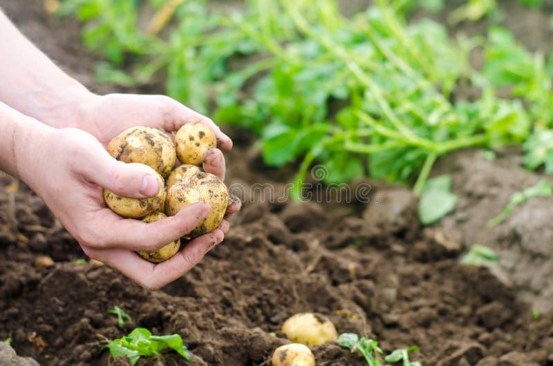 L'agriculteur tient une jeune pomme de terre dans des ses mains La société pour moissonner des pommes de terre L'agriculteur trav images libres de droits