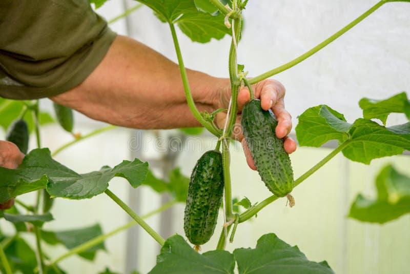 L'agricultrice remet sélectionner un concombre photographie stock