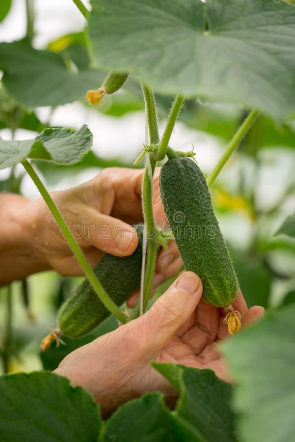 L'agricultrice remet sélectionner un concombre photographie stock libre de droits