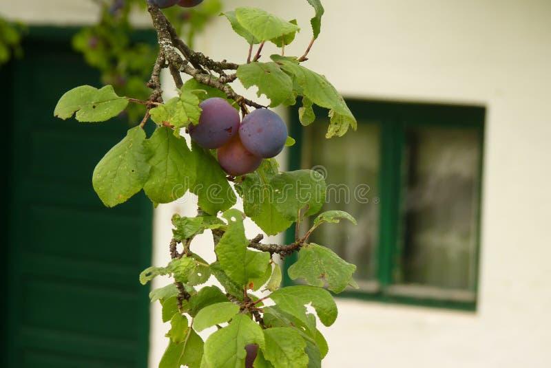 l'agriculture s'embranche arbre savoureux de plomb de fruit de concept image libre de droits