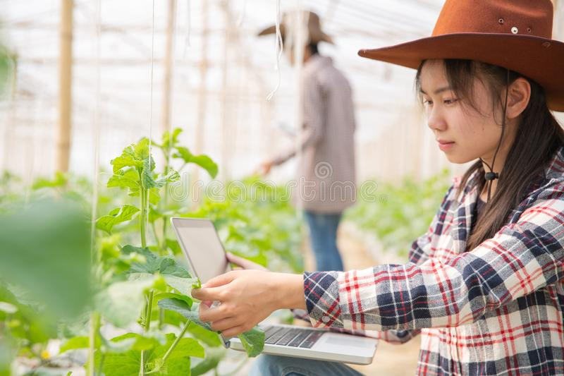 L'agronome examine les jeunes plantes croissantes de melon ? la ferme photo stock