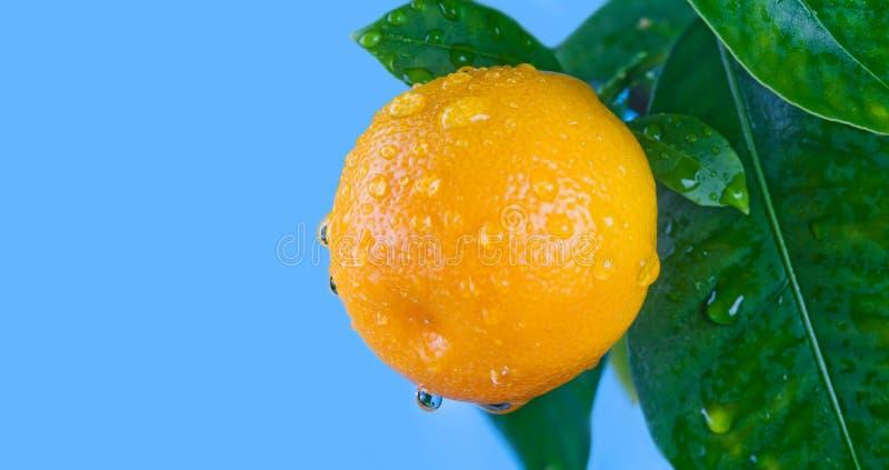 L'agrume, arancia, mandarino fruttifica ramo con le foglie fotografia stock