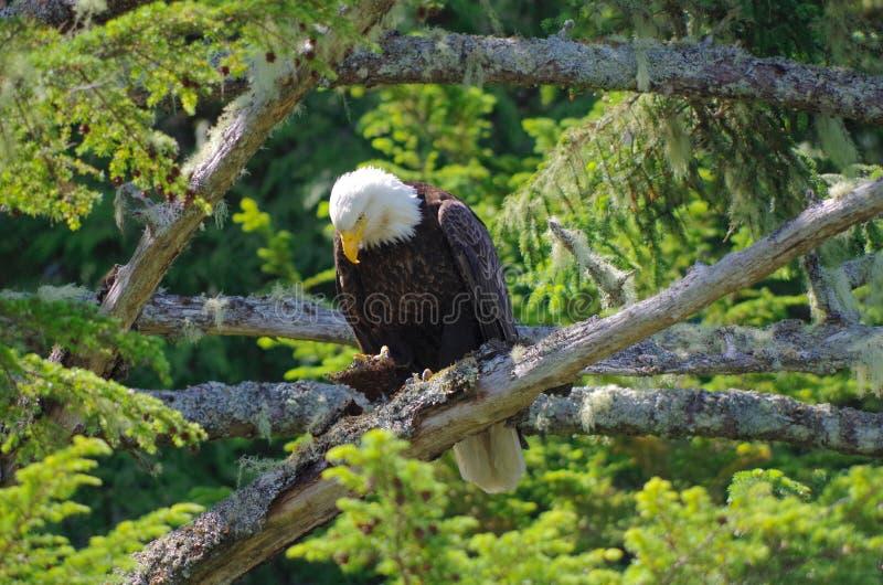L'aigle chauve était perché dans les branches d'un grand arbre impeccable, regardant vers le bas photographie stock