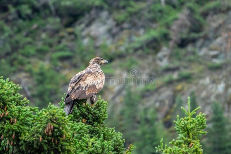 L'aigle chauve a débarqué dans une branche de pin images libres de droits