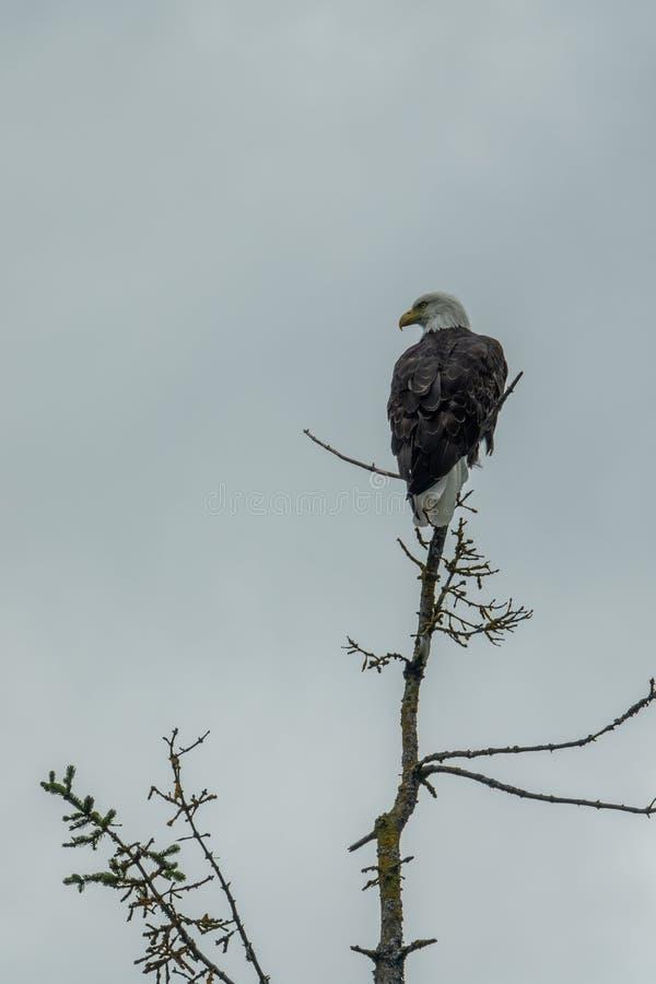 L'aigle chauve a débarqué dans une branche de pin photo stock
