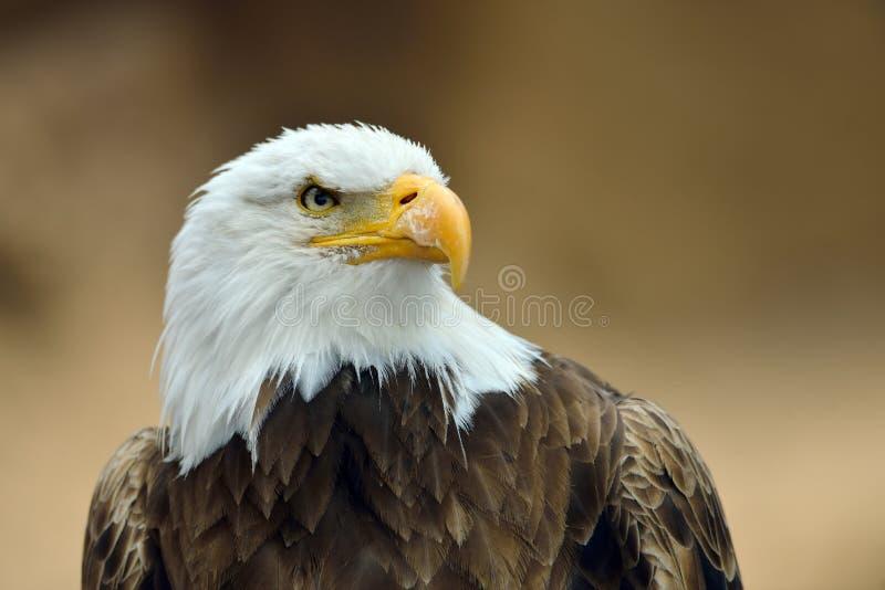 Download L'aigle Chauve (leucocephalus De Haliaeetus) Image stock - Image du visage, amérique: 56478799