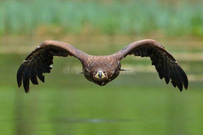 L'aigle coupé la queue par blanc en vol photo stock