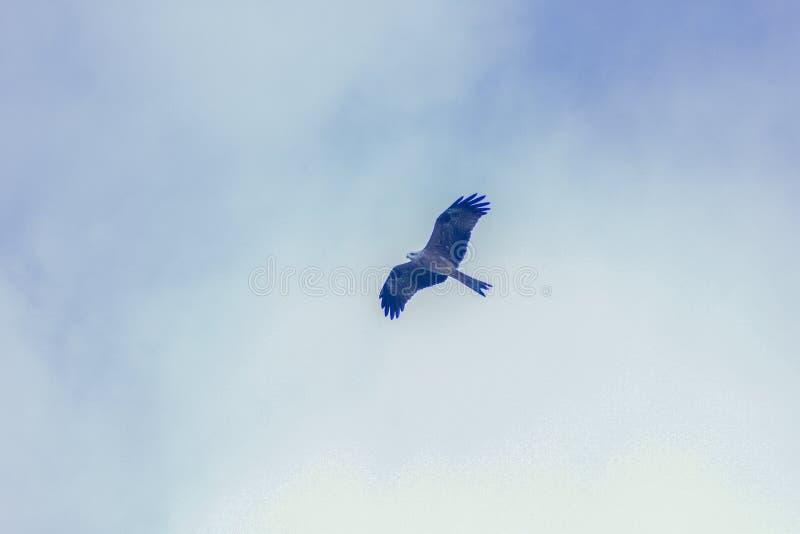 L'aigle grimpant vers l'avant et vers le haut avec elle et l'aile#x27;s a laissé la large se diriger Cet oiseau lourd vole en gro photos stock