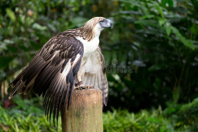L'aigle philippin photographie stock