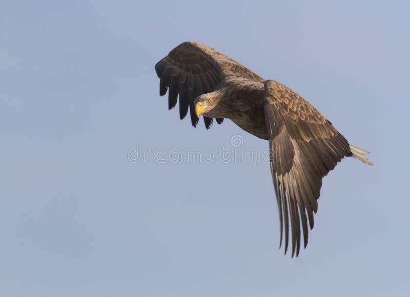L'aigle suivi par blanc vole dans le ciel photos stock
