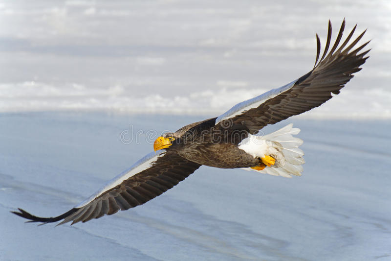 L'aigle suivi par blanc vole dans le ciel photographie stock
