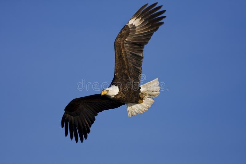 L'aigle volent près