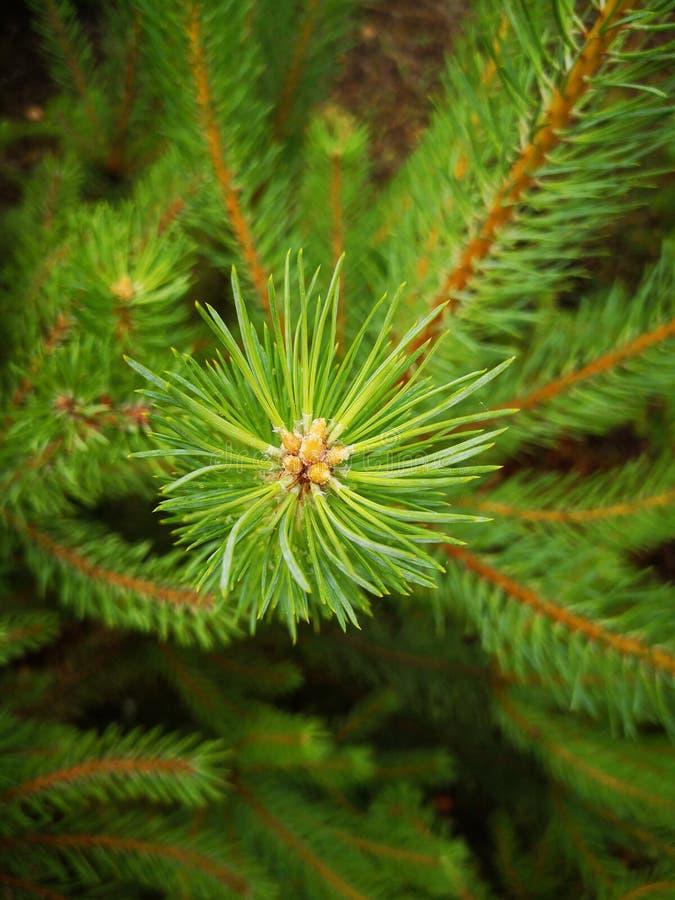 L'aiguille de pin divergent du centre Plan rapproch? d'une branche de pin photo libre de droits