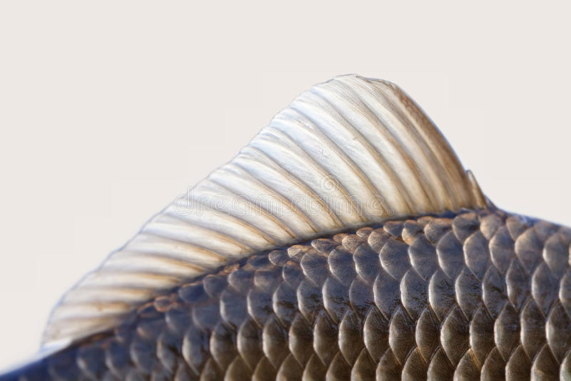 L'aileron de poissons de Carassius, peau mesure la photo texturisée Macro modèle écallieux de carpe de Crucian de vue Foyer sélec photo stock
