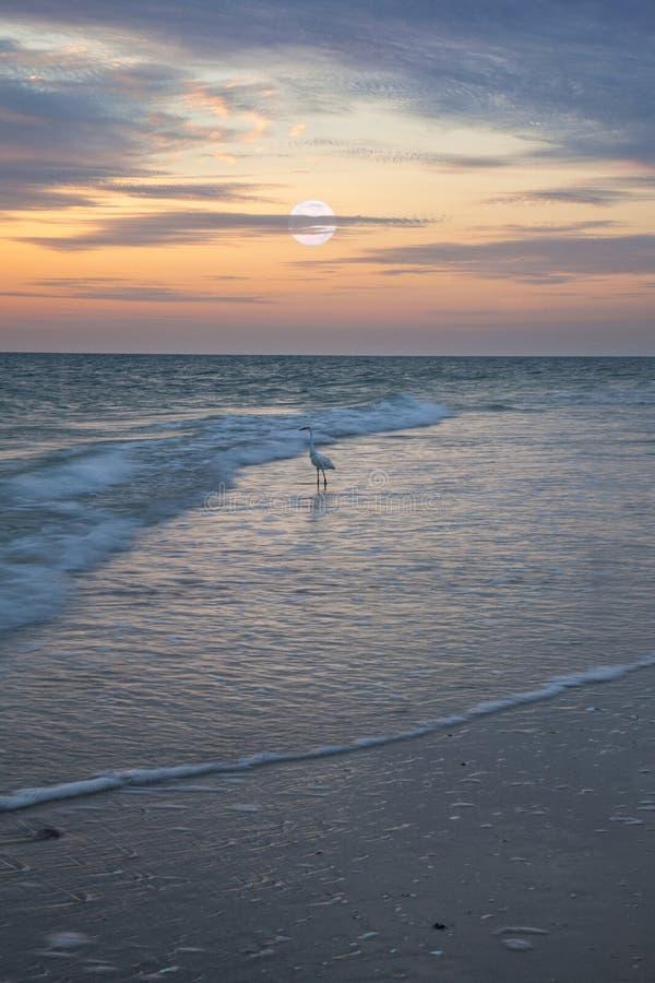 L'airone bianco maggiore guada con garbo attraverso l'acqua sulla spiaggia di Napoli all'alba come gli insiemi della luna piena fotografia stock