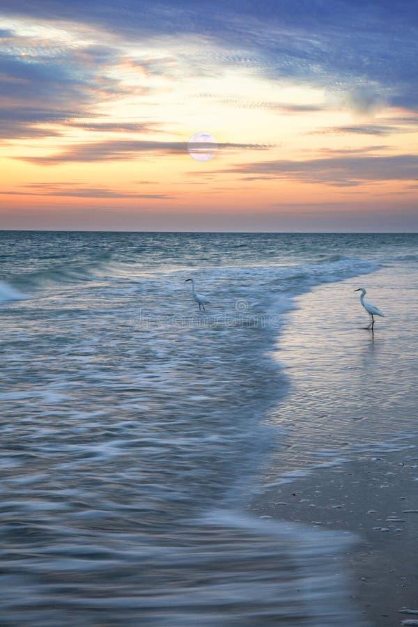 L'airone bianco maggiore guada con garbo attraverso l'acqua sulla spiaggia di Napoli all'alba come gli insiemi della luna piena fotografie stock libere da diritti