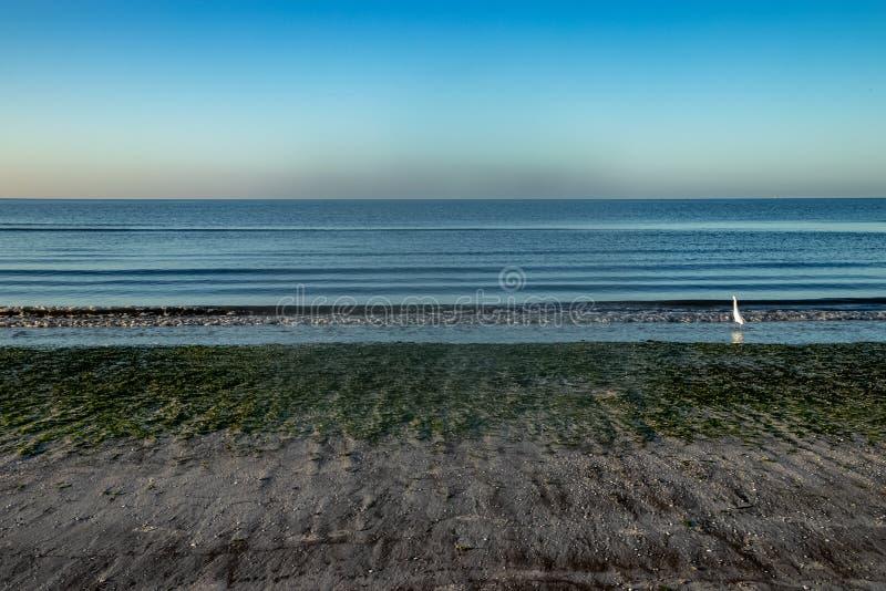 L'airone bianco maggiore guarda fuori nel golfo di Mexicco durante il sunr immagine stock