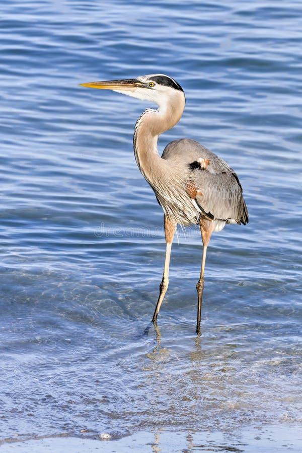 L'airone blu guada nel golfo del Messico immagini stock libere da diritti