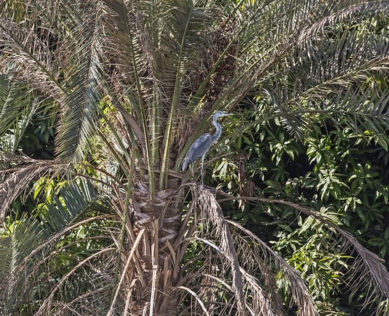 L'airone cenerino è stato sul ramo dell'albero sopra il fiume fotografia stock