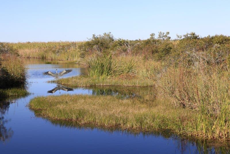 L'airone di grande blu decolla in ramo paludoso di fiume paludoso immagini stock libere da diritti